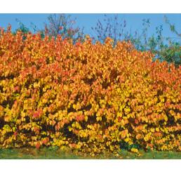 Cornus sanguinea / Svíb obyčajný, bal. 10 ks VK na živý plot