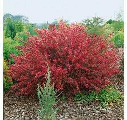 Cytisus × praecox 'Boskoop Ruby'/ Zanoväť skorá červenožltá, 30-40 cm, C1