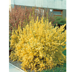 Forsythia x intermedia ´Lynwood Gold´ / Zlatý dážď / Zlatovka prostredná, 20-30 cm, K12