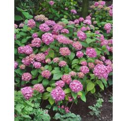 Hydrangea macrophylla ´Bouquet Rose´ / Hortenzia kalinolistá, C2