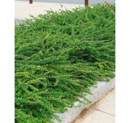Lonicera pileata ´Moss Green´  / Zemolez, 20-30 cm, K12