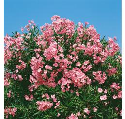 Nerium oleander ´Pink´ / Oleander ružový, 20 cm, K9