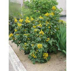 Mahonia aquifolium / Mahónia cezmínolistá, 20-30 cm, C2