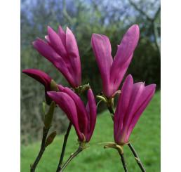 Magnolia liliflora ´Susan´ / / Magnólia ľaliokvetá, 50-60 cm, C5