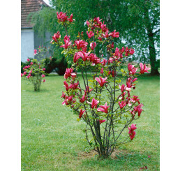 Magnolia liliflora ´Nigra´ / Magnólia ľaliokvetá, 50-60 cm, C5
