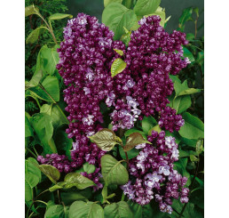 Syringa vulgaris ´Paul Thirion´ / Orgován, 40-60 cm, C1,5