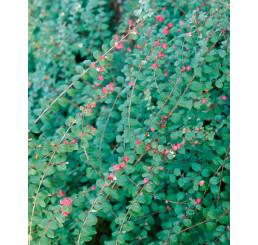 Symphoricarpos chenaultii ´Hancock´ / Imelovník Chenaultov, 60-80 cm, C3