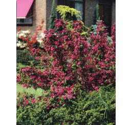 Weigela florida ´Bristol Ruby´ / Vajgela kvetnatá, 20-30 cm, K12