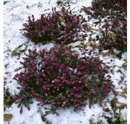 Erica darlayensis ´Kramers Rote´ / Vresovec, K8