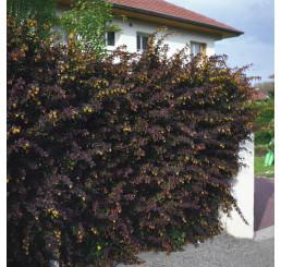 Berberis thunbergii ´Atropurpurea´ / Dráč, 30 - 40 cm, C1