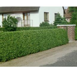 Ligustrum ovalifolium / Vtáčí zob vždyzelený, bal. 10 ks VK na živý plot