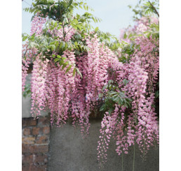 Wisteria floribunda ´Rosea´ / Vistéria mnohokvetá, 50-60 cm, C2