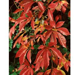 Parthenocissus quinquefolia / Pavinič päťlaločný, bal. 15 sem.
