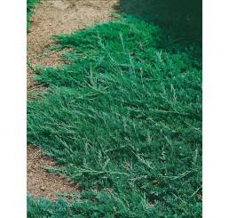 Juniperus horizontalis ´Wiltonii´ / Borievka , 25-30 cm, C1,5