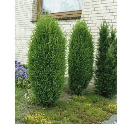 Juniperus communis ´Hibernica´ / Borievka, 15-20 cm, K9