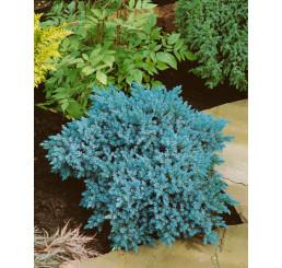 Juniperus squamata 'Blue Star' / Borievka šupinatá, 12-15 cm, C2