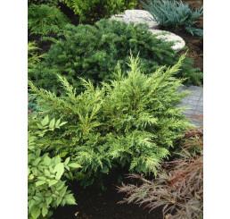 Juniperus chinensis ´Mordigan Aurea´ / Borievka čínska, 20-30 cm, C1,5