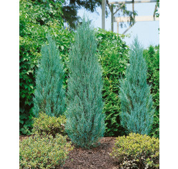 Juniperus scopulorum ´Blue Arrow´ / Borievka  Modrý šíp, 50-60 cm, KB