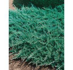 Juniperus horizontalis ´Blue Chip´ / Borievka, 20 - 30 cm, C2