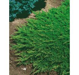 Juniperus horizontalis ´Prince of Wales´ / Borievka, 20-30 cm, C1,5