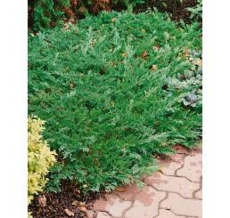 Juniperus horizontalis ´Prince of Wales´ / Borievka, 20 - 25 cm, C2