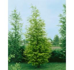 Metasequoia glyptostroboides / Metasekvoja čínska, 40-60 cm, K9