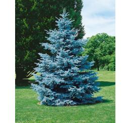 Picea pungens ´Hoopsii´ / Smrek pichľavý, 100-120 cm, KB AKCIA