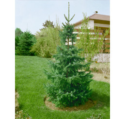 Picea omorika / Smrek srbský omorikový, 15-20 cm, C1,5