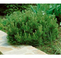 Pinus mugo ´Pumilio´ / Borovica horská, 30-35 cm, C2