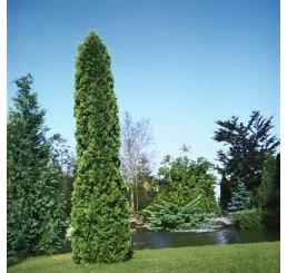 Thuja occidentalis 'Pyramidalis Compacta' / Tuja západná (stĺpovitá), 20-25cm,K9