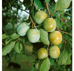 Prunus domestica ´Zelená´ / Ringlota, Myr.
