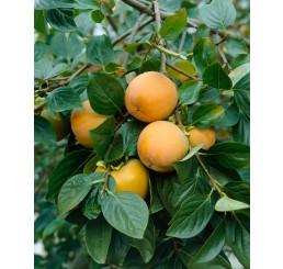 Diospyros kaki ´Ragno´ / Hurmi kaki / Ebenovník rajčiakový, 120-150 cm, VK
