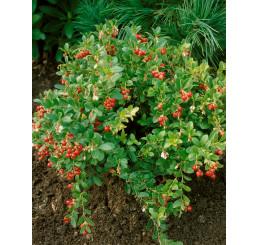 Vaccinium vitis-idaea ´Koralle´ / Brusnica pravá, 10-15 cm, K9