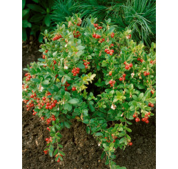 Vaccinium vitis-idaea ´Koralle´ / Brusnica pravá, 15-20 cm, K11
