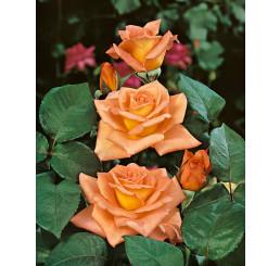 Rosa ´Ambassador´ / Ruža čajohybrid oranžová, krík, BK