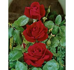 Rosa ´Chrysler Imperial´ / Ruža čajohybrid tmavá červená, krík, BK