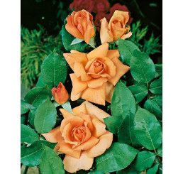 Rosa ´Beauty´ / Ruža čajohybrid, krík, BK