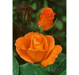 Rosa ´Doris Tystermann´ / Ruža čajohybrid, krík, BK