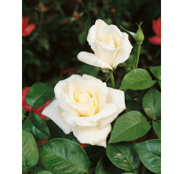 Rosa ´Mount Shasta´ / Ruža čajohybrid, KMIENOK 120 cm, BK
