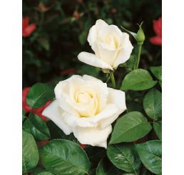 Rosa ´Mount Shasta´ / Ruža čajohybrid, krík, BK