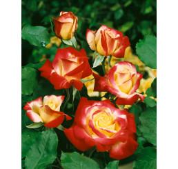 Rosa ´Double Delight´ / Ruža čajohybrid, krík, BK