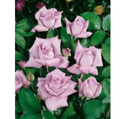 Rosa ´Sissi´ / Ruža čajohybrid, krík, BK