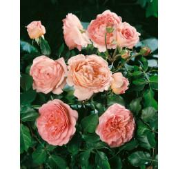 Rosa ´Abraham Derby´ / Ruža čajohybrid, krík, BK