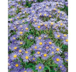 Aster amellus ´Rudolf Goethe´ / Astra kopcová modrá, K9