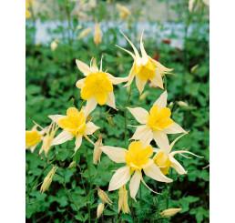 Aquilegia chrysantha ´Yellow Queen´ / Orlíček, K9