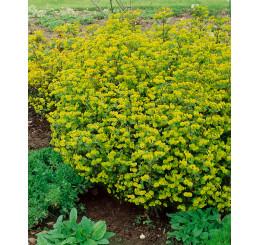 Euphorbia amygdaloides ´Purpurea´ / Mliečnik mandľolistý, K9