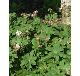 Geranium macrorrhizum ´Spessart´/ Pakost biely, C1,5