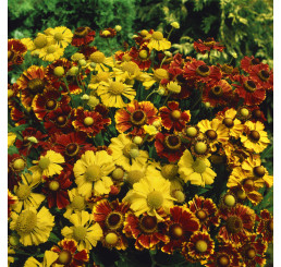 Helenium autumnale ´Yellow´ / Helenium jesenné, K9