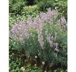 Lavandula angustifolia ´Rosea´ / Levanduľa úzkolistá, C1,5