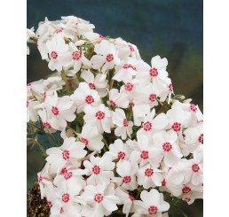 Phlox subulata ´Amazing Grace´, K9